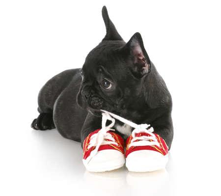 masticar: Cachorro de bulldog franc�s masticar par de zapatos rojos de ejecuci�n con una reflexi�n sobre fondo blanco