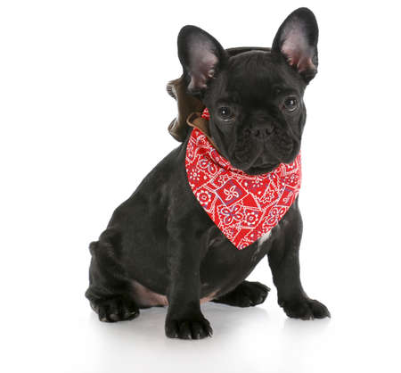 hankie: french bulldog wearing cowboy hat and red bandanna with reflection on white background Stock Photo