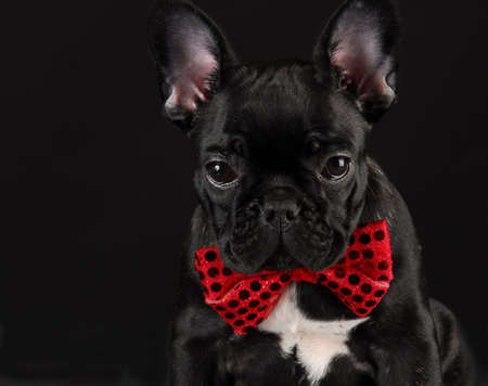 bowtie: french bulldog wearing red bowtie on black background Stock Photo
