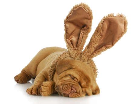 bajo y fornido: cachorro con orejas de conejo - perro de bordeaux usar orejas de conejito de pascua sobre fondo blanco - 4 semanas de edad
