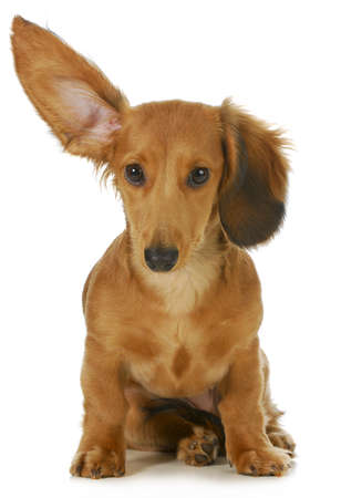 deaf: dog listening - miniature long haired dachshund with one ear up listening isolated on white background