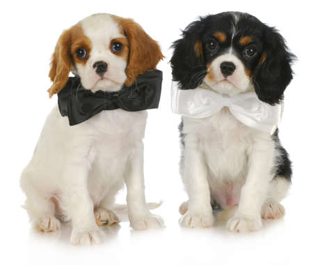 cavalier: two cute puppies - cavalier king charles spaniel puppies wearing bowties sitting on white background Stock Photo