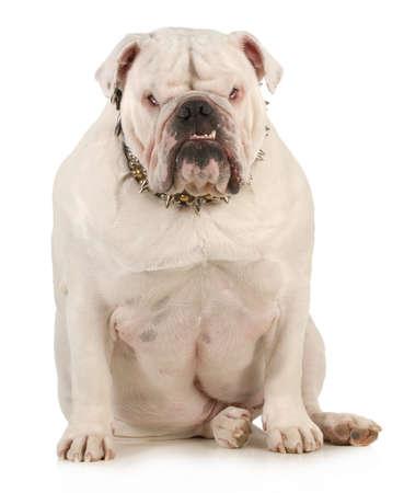 �spiked: guardia perro - Bulldog Ingl�s llevaba collar de pinchos con expresi�n intimidatoria sobre fondo blanco