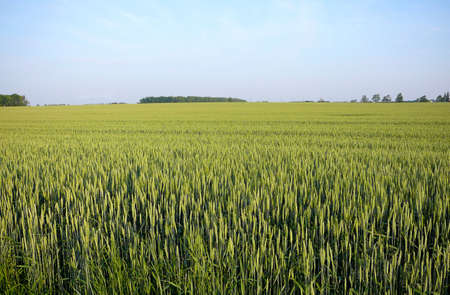 early summer wheat field in south western ontario