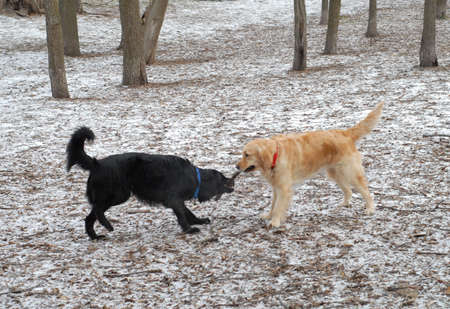 mix breed and golden retreiver fight over stick Imagens