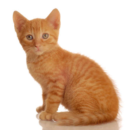portrait of orange tabby kitten sitting - seven weeks old Stok Fotoğraf