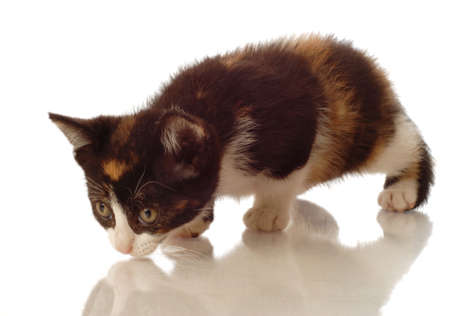 calico kitten down low as though hunting for a mouse Foto de archivo