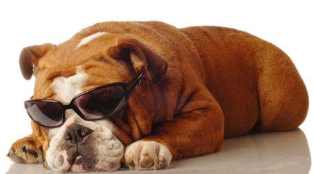 english bulldog wearing dark sunglasses - isolated on white