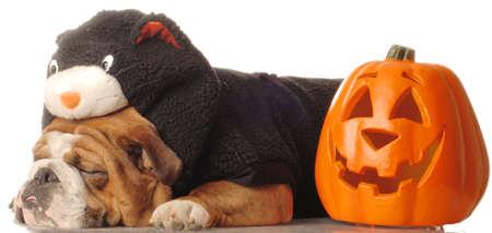 english bulldog wearing black cat costume sleeping beside pumpkin Stock Photo
