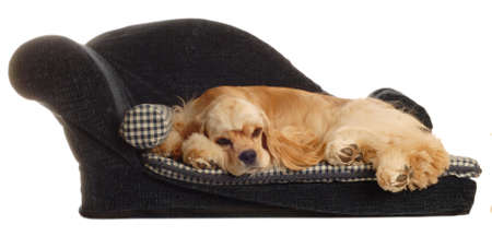 cocker spaniel sleeping on dog bed isolated on white background Archivio Fotografico