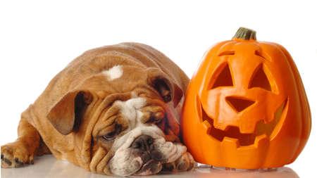 english bulldog resting beside a festive halloween pumpkin Stock Photo