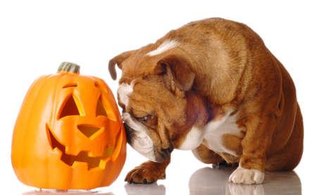 english bulldog with festive cutout pumpkin on white background Stock Photo