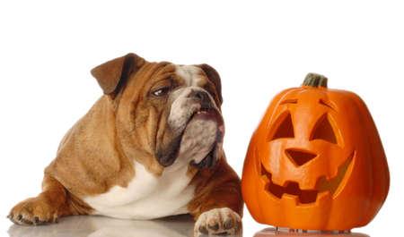 english bulldog sitting beside a festive halloween pumpkin