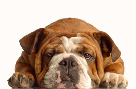 red brindle english bulldog lying down face on with silly expression Banco de Imagens - 3708200