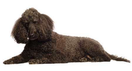 black senior standard poodle lying down isolated on white background