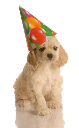 american cocker spaniel puppy wearing cute birthday hat Stock fotó