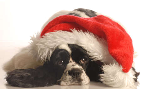 american cocker spaniel wearing santa hat isolated on white background