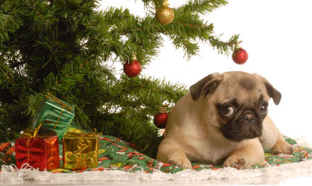 cute fawn pug puppy under christmas tree Stock Photo - 3821062