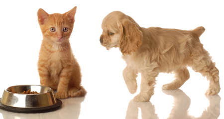 american cocker spaniel walking towards orange tabby kitten that is sitting in front of food dish