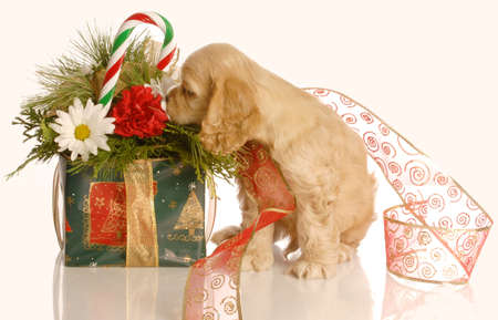 cocker spaniel puppy smelling christmas flower arrangement isolated on white background