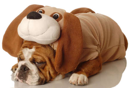 english bulldog dressed up as a dog - purebred dressed up as a mixed breed Stock Photo