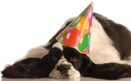 american cocker spaniel wearing colorful birthday hat Stock fotó