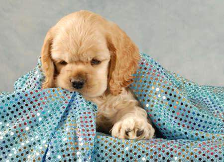 american cocker spaniel puppy playing under blue blanket