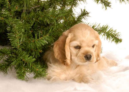 american cocker spaniel puppy laying down under pine tree in the snow
