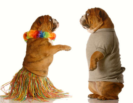 one english bulldog dressed up performing the hula dance while another one watches