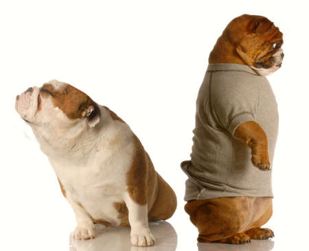 one english bulldog standing with his back to the other who is sitting with her nose up - as though in an argument 写真素材