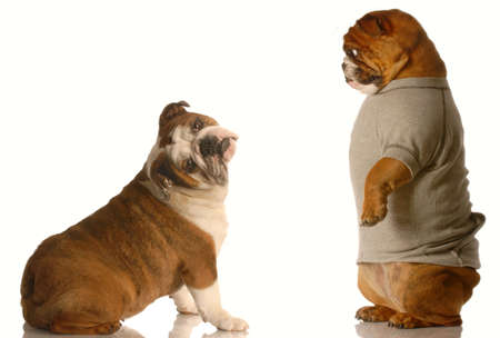two english bulldogs in a silly dog fight