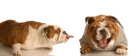 english bulldog sticking tongue at another dog laughing - concept of bullying 写真素材