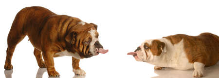 two english bulldogs sticking tongues out at each other - dog fight