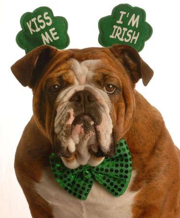 st. patricks day - english bulldog wearing kiss me im irish headband