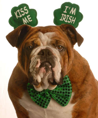 st. patricks day - english bulldog wearing kiss me im irish headband