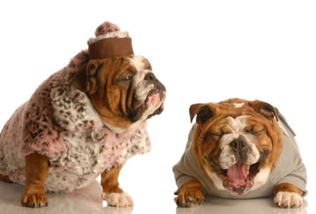 bulldog bullying - bulldog laughing hysterically at another one wearing silly fur coat and hat 写真素材