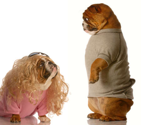 puppy love - funny english bulldog couple dressed up as a girl and boy in love