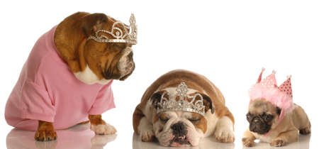 spoiled dogs - two bulldogs and a pull all wearing tiaras