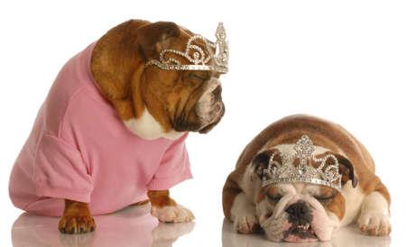 spoiled dogs - two english bulldogs wearing tiaras 写真素材