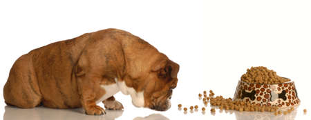 english bulldog sniffing out the food bowl Imagens