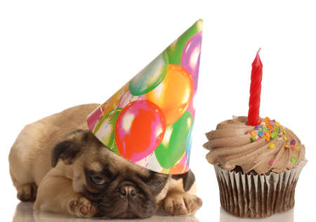 cute pug puppy wearing birthday hat and festive cupcake