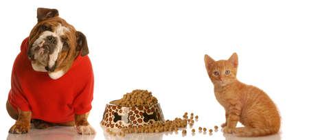english bulldog and kitten sharing food dish
