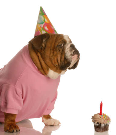 english bulldog with birthday party hat sitting in front of chocolate cupcake 写真素材