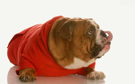 english bulldog in red sweater licking lips Reklamní fotografie