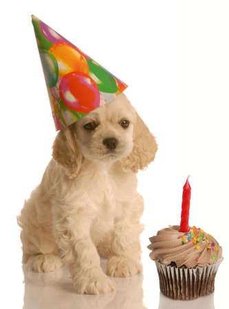 Amerikaanse Cocker Spaniel puppy vieren een feestje
