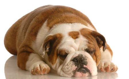 english bulldog sleeping isolated on white background Stok Fotoğraf