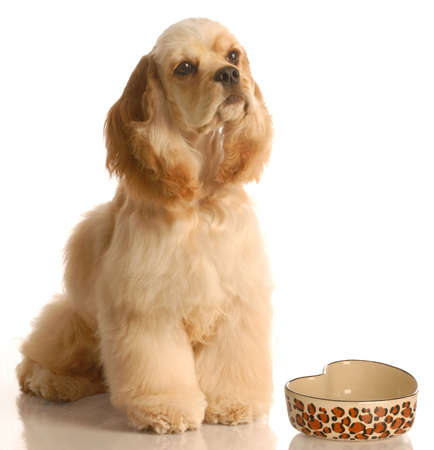 american cocker spaniel waiting to be feed