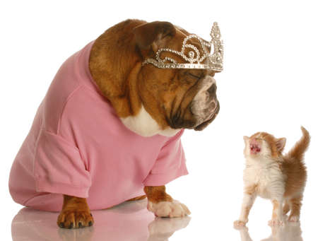 dog and cat fight - spoiled english bulldog with annoyed kitten