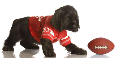american cocker spaniel puppy dressed up playing football Reklamní fotografie