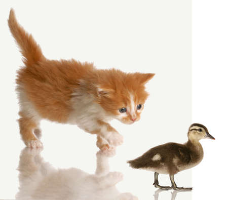 kitten stalking or hunting a baby duck isolated on white background